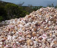 Raw Material Conch Shell